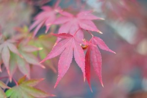 Moonfire Japanese Red Maple