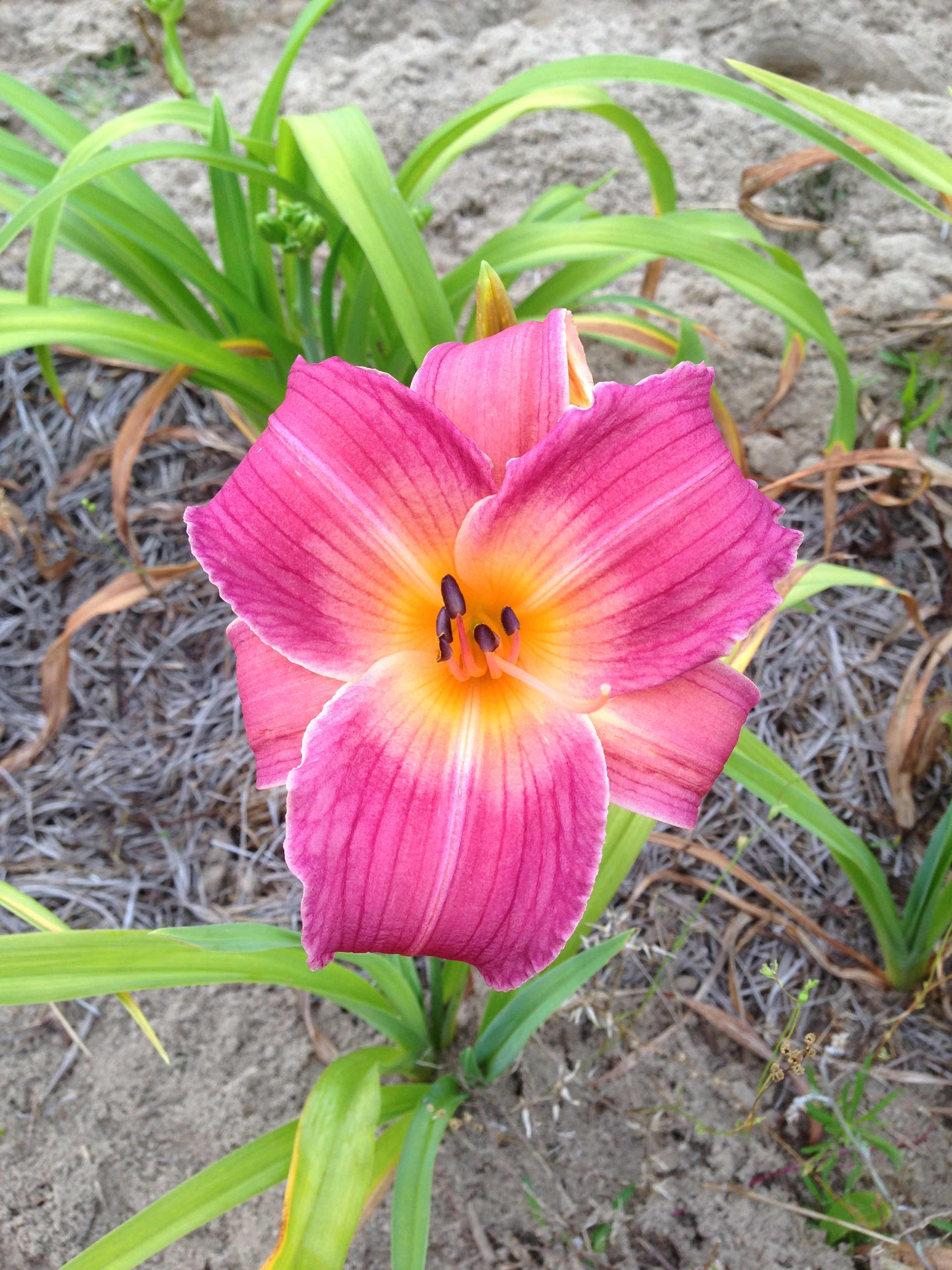 597 huge mothers day weekend plant sale issaquah the daily bellas pink daylily izmirmasajfo